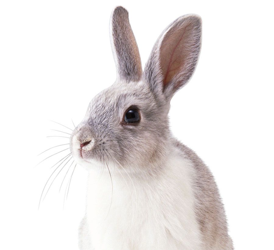 real rabbit with transparent background