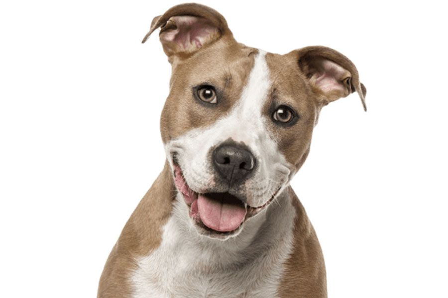 american staffordshire terrier dog sitting looking at the camera on white background