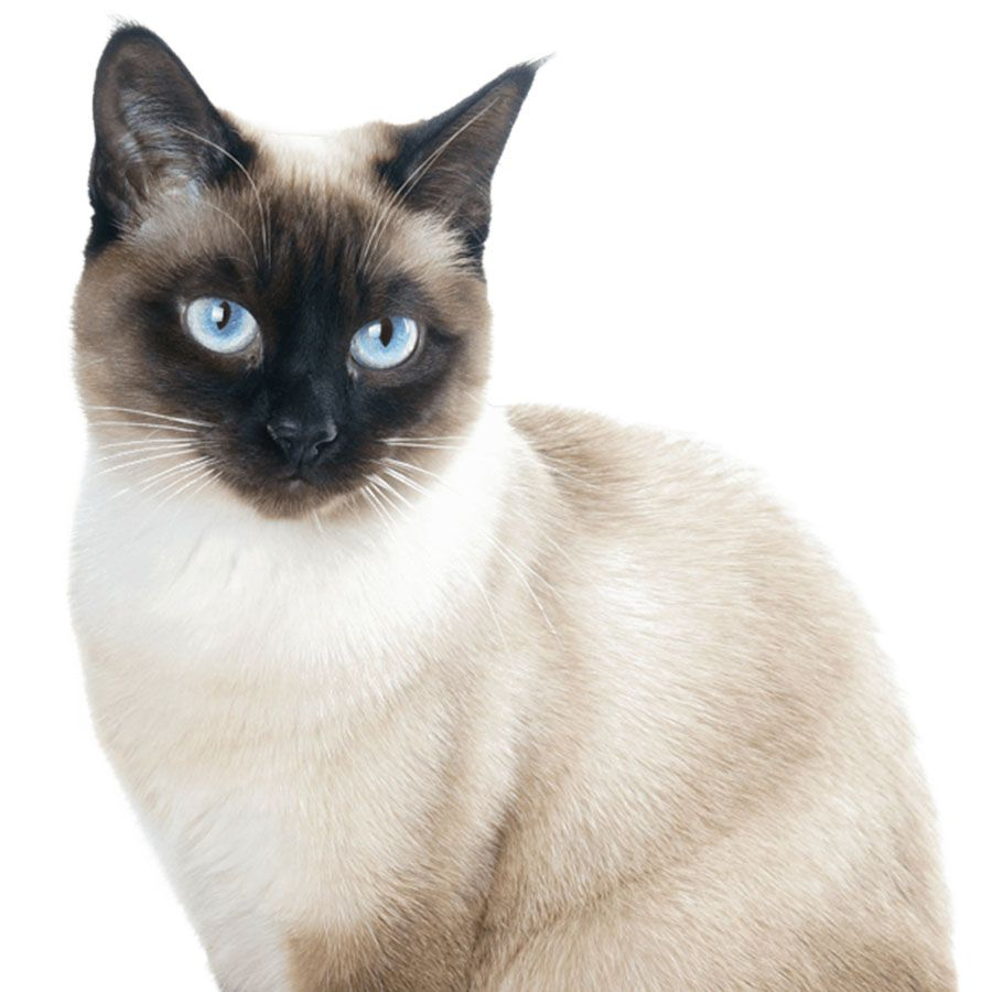 beautiful siamese cat with blue eyes isolated on white background